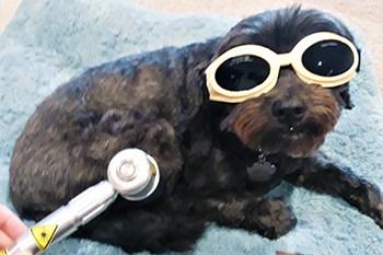 Molly the dog having laser treatment