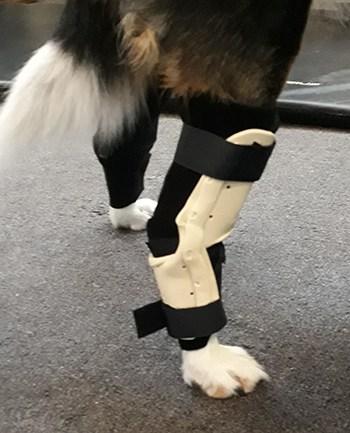 Dog with splint