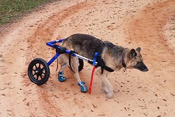 german shepherd with wheelchair