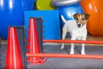 small dog having physio session at Coastal Canine Physio
