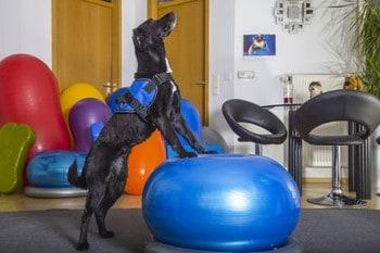 dog stretching at Coastal Canine Physio